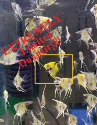 High Coverage Gold Marble Angelfish