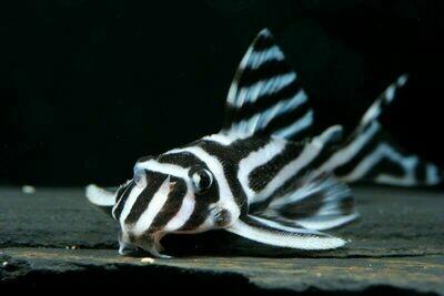 Wild Zebra Pleco - L46