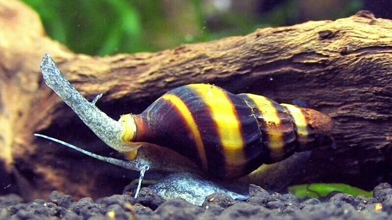 Assassin Snails - Clea Helena