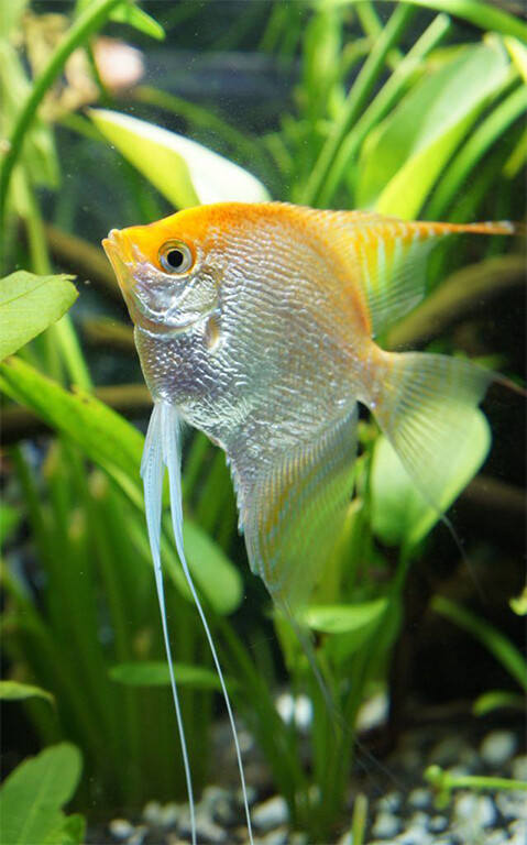 Gold Pearlscale Angelfish