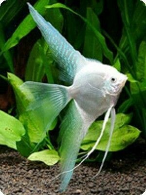 Platinum Veil Angelfish