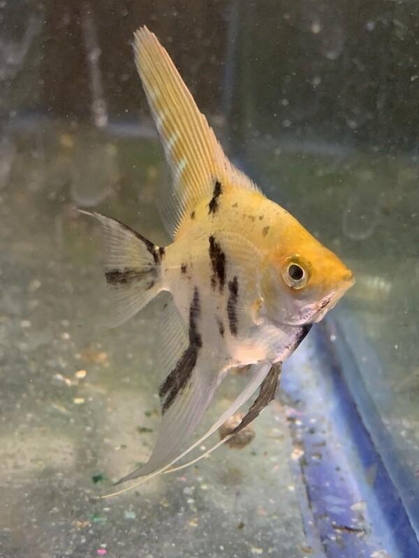 Silver Marble Angelfish
