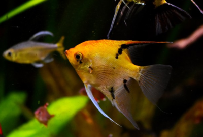High Coverage Koi Angelfish