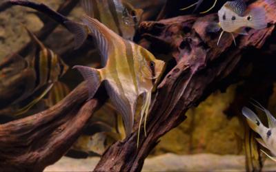 Wild Atabapo Altum Angelfish