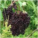 Elderberries - per lb on stem