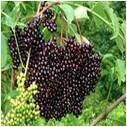 Elderberries - per lb on stem