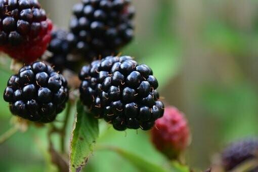 Blackberries - 1 1/2 Pint