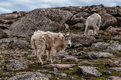 108 - Mountain Goat Print