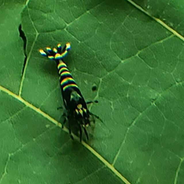 Black Zebra Pinto (5) - Charles Feldman (Oregon)