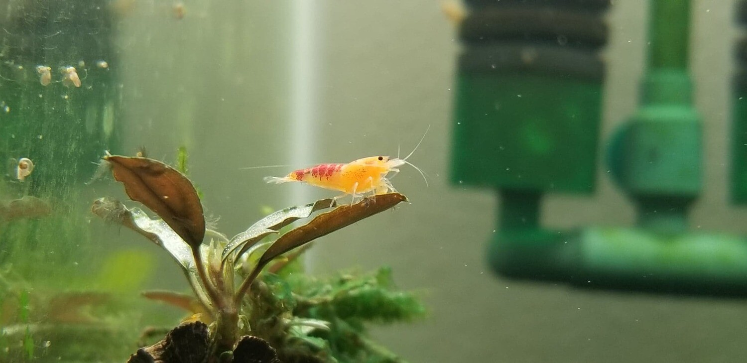 Golden Calceo Shrimp (5) - Bncooly Aquatics (Oregon)