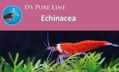 SaltyBee DS Pure Echinacea 50gr