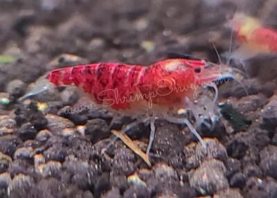 Red Scorpion (5) - R&R Bloomfield (Oregon)