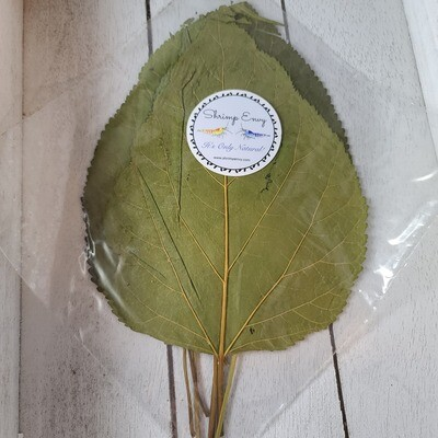 Large Mulberry Leaves - 10 pack