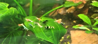 Perfectly Imperfect Shrimp - 10pk