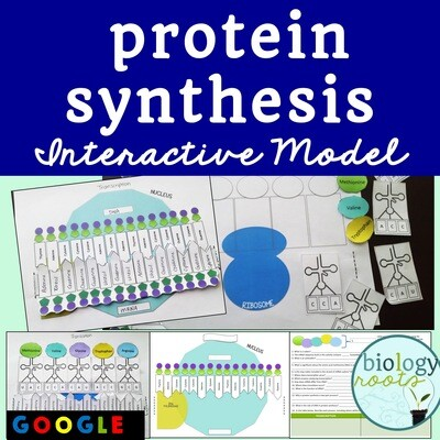 Protein Synthesis Model