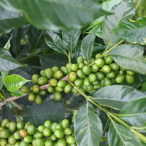 Colombia - Mountain Water Decaf (Green Beans)