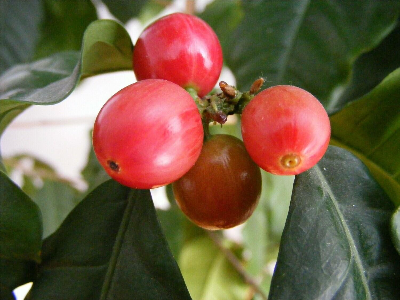 Vietnam - Lam Dong (Green Beans)