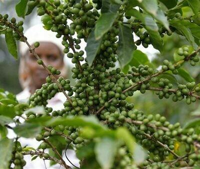Zimbabwe - Pezuru Estate (Green Beans)