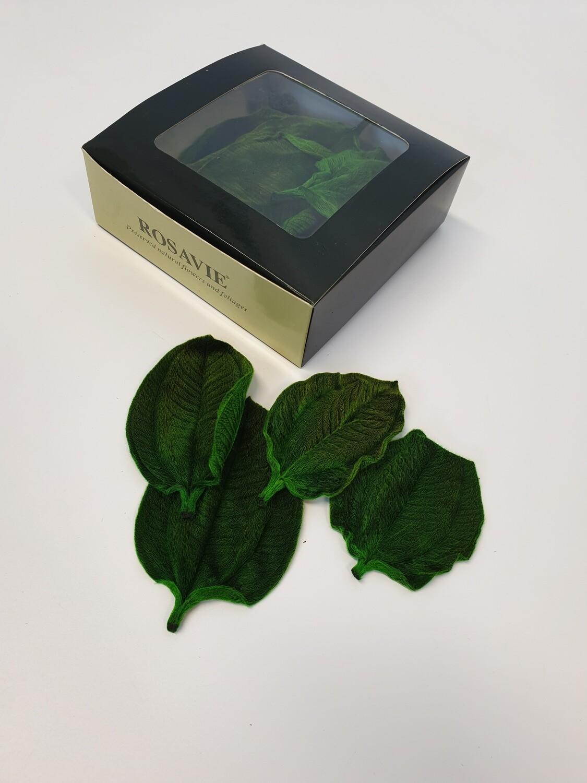 Preserved Tipuchina Leaves Green