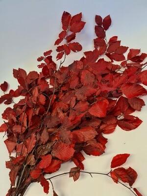 Preserved Beech Red