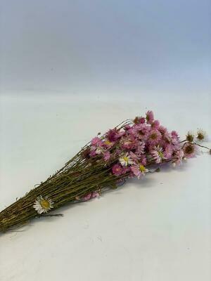 Dried Acroclinium Pink