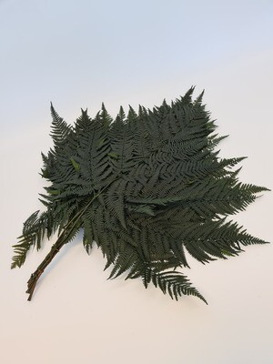 Dried Leatherleaf Green