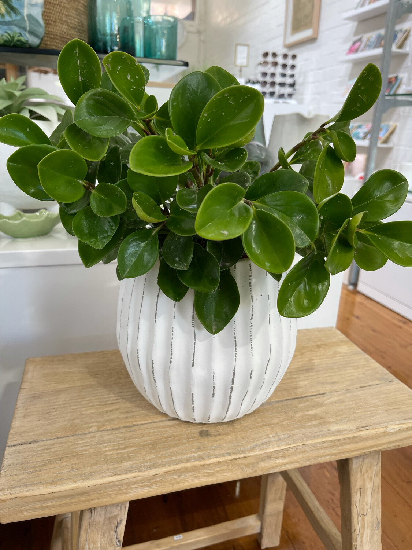 Papaya Pot and Indoor Plant