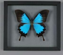 Cadre papillon Papilio Ulysses
