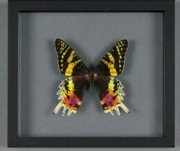 Cadre papillon Urania Ripheus