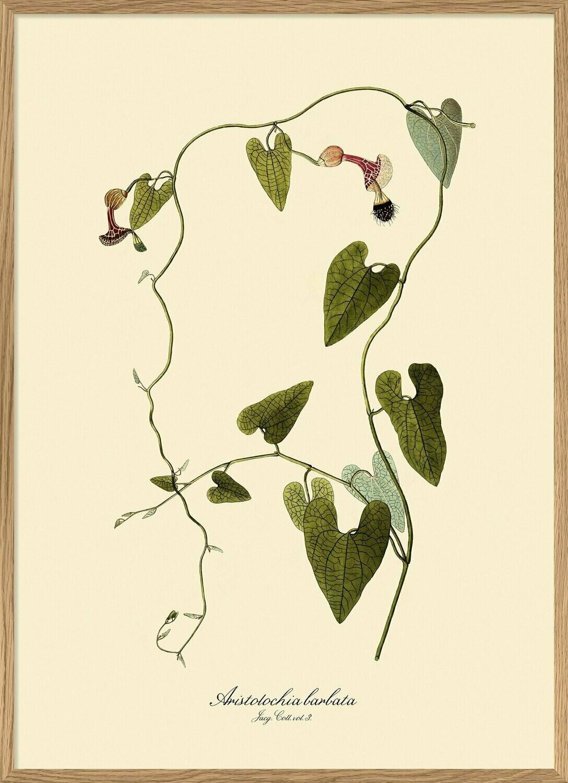 Affiche Aristolochia Babata style 18 eme S 30x40 cm