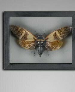 Cadre Insecte (cigale) Angaliana floridula