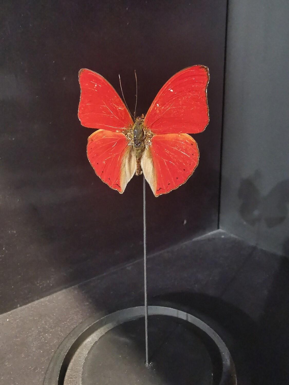 Cloche Globe  papillon rouge