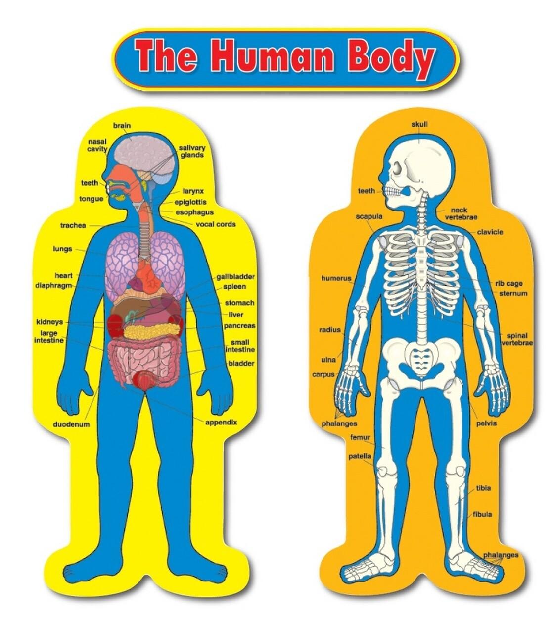 BBS Child Size Human Body [st]