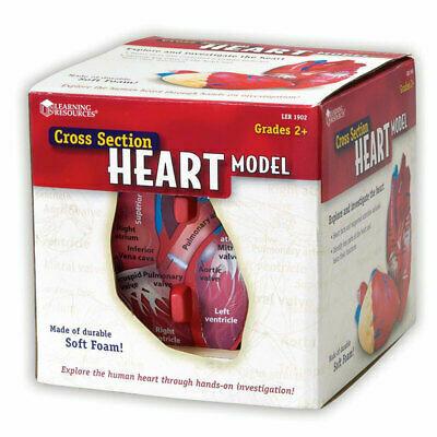 Cross Section Heart Model