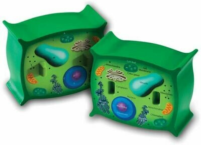 Cross Section Plant Cell Model