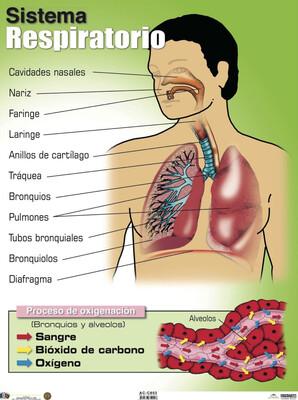 Poster Sistema Respiratorio