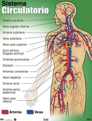 Poster Sistema Circulatorio