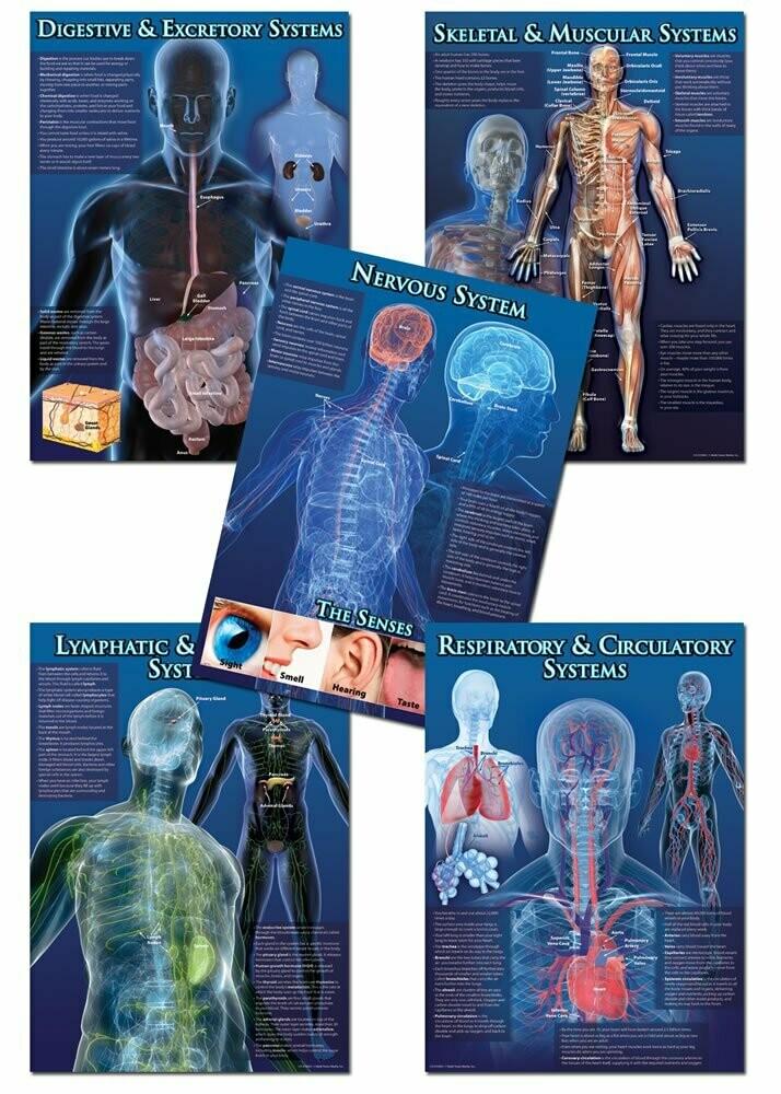 BBS Human Body Facts