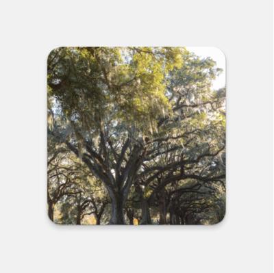 Oak Trees of Charleston