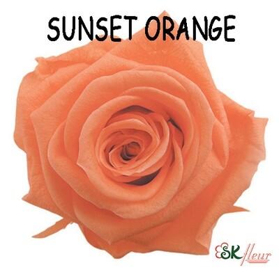 Standard Rose / Sunset Orange