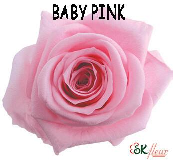 Standard Rose / Baby Pink