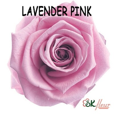 Standard Rose / Lavender Pink