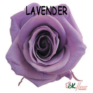 Mediana Rose / Lavender