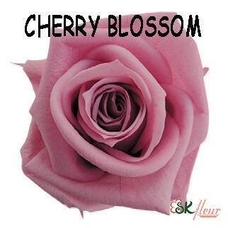 Mediana Rose / Cherry Blossom