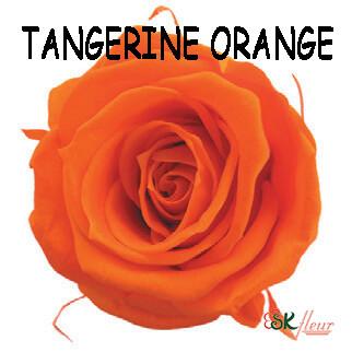 Mediana Rose / Tangerine Orange