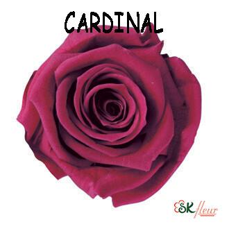 Mediana Rose / Cardinal