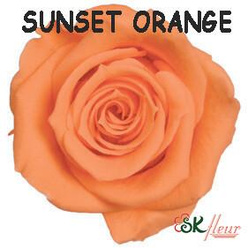 Spray Rose / Sunset Orange