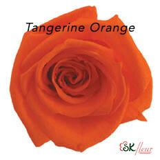 Baby Rose / Tangerine Orange