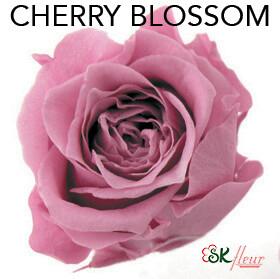 Piccola Blossom Rose / Cherry Blossom