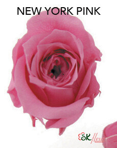Piccola Blossom Rose / New York Pink
